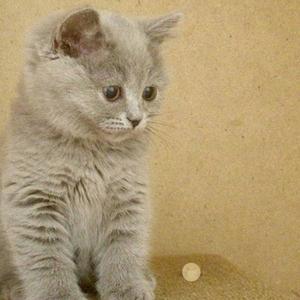 продам шотландских котят и сфинксов