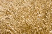 Куплю ячмень рапс подсолнечник пшеницу сою кукурузу постоянно