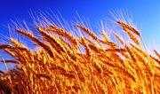 Куплю пшеницу ячмень рапс подсолнечник сою кукурузу